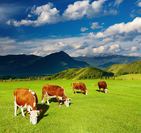 dairy farm: Mountain landscape with grazing cows