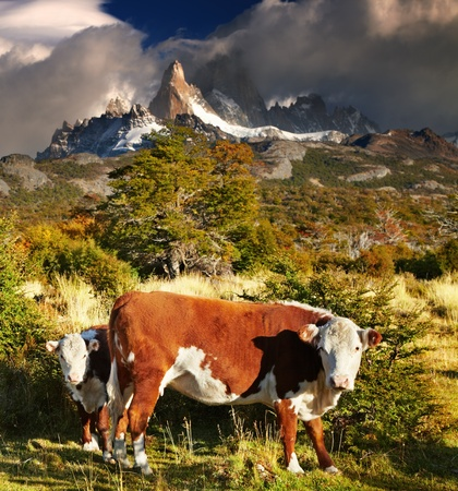 Landscape with cows and Mount Fitz Roy, Patagonia, Argentina photo