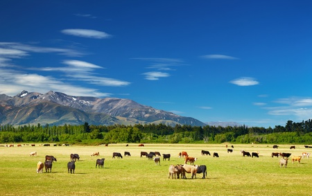 New Zealand landscape with farmland and grazing cows  photo