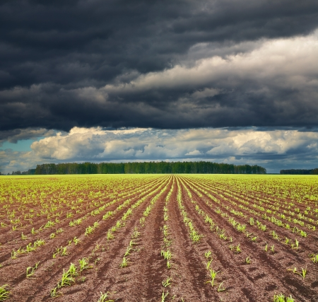 downpour: View of field with sprouting crops and storm clouds