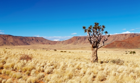 dichotoma: Landscape with quiver tree Aloe dichotoma, South Namibia