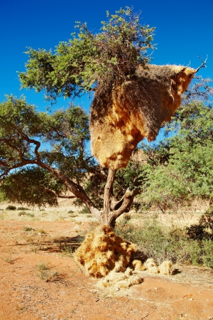 weaver bird nest: Tree with big nest of weaver birds colony, Kalahari Desert, Namibia