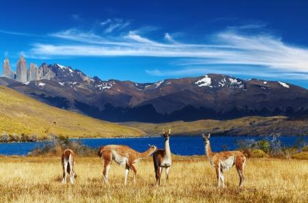 グアナコはパタゴニア、チリ、ラグーナ アズール トレス デル パイネ国立公園 写真素材