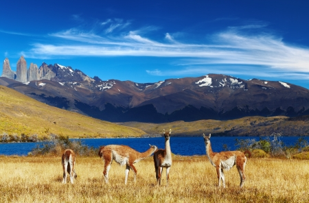 Guanaco in Torres del Paine National Park, Laguna Azul, Patagonia, Chile Stock Photo