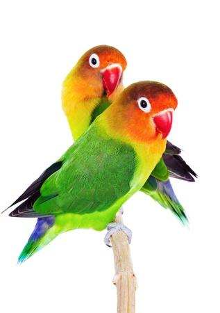 Coppia di lovebirds agapornis-fischeri isolato su bianco Archivio Fotografico