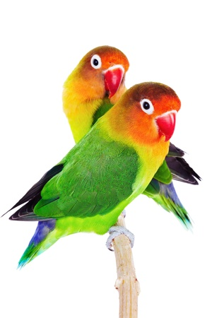 tropical bird: Pair of lovebirds agapornis-fischeri isolated on white