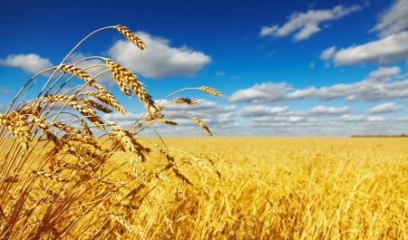 Ripe wheat ears over wheat field photo