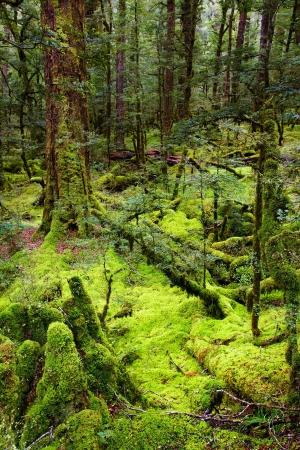 dark jungle green: Primeval forest, New Zealand  Stock Photo