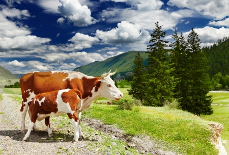 Mountain landscape with cows and forest photo