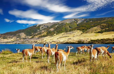 laguna: Guanaco in Torres del Paine National Park, Laguna Azul, Patagonia, Chile Stock Photo