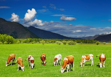 Mountain landscape with grazing cows and blue sky photo