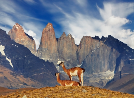 torres del paine: Guanaco in Torres del Paine National Park, Patagonia, Chile  Stock Photo