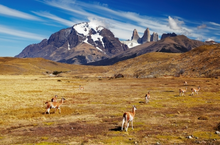 guanaco: Guanaco in Patagonia, Chile