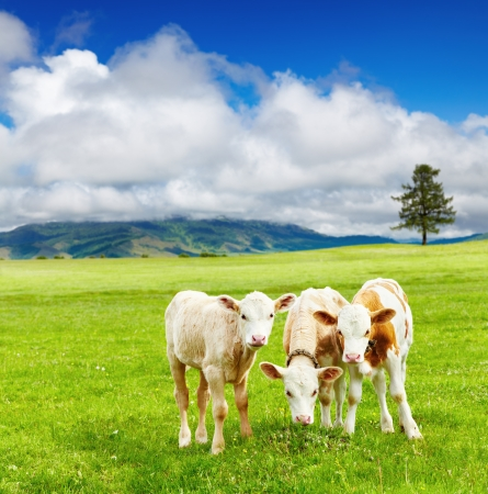 Three calves on the meadow