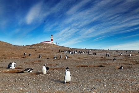 Colony of magellanic penguins on Magdalena island, Strait of Magellan, Chile Фото со стока - 15401728