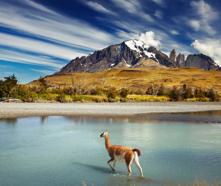 paine: Guanaco crossing the river in Torres del Paine National Park, Patagonia, Chile