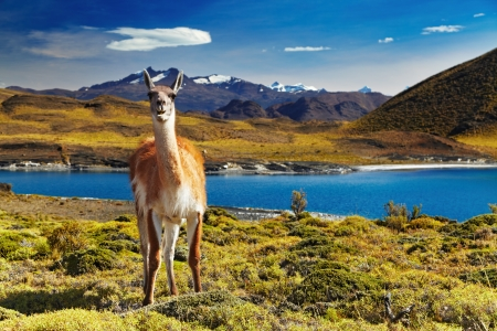 グアナコはパタゴニア、チリ トレス デル パイネ国立公園