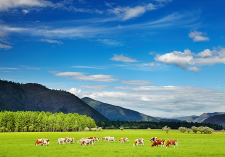 Mountain landscape with grazing cows and blue sky Stok Fotoğraf - 17329350