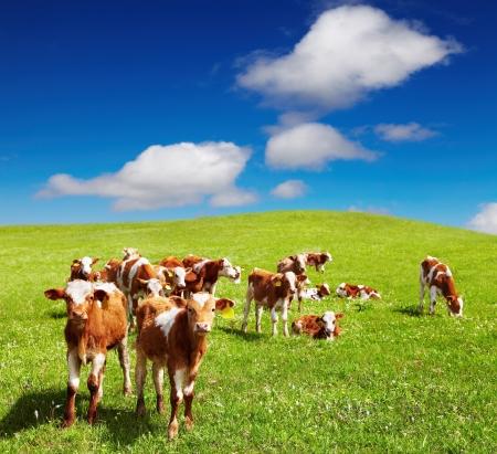 Grazing calves on green hill