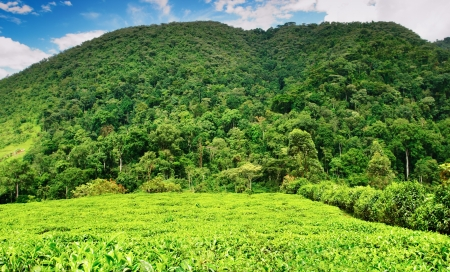 uganda: Tea plantation in Bwindi national park, Uganda