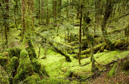 primeval forest: Primeval forest, New Zealand  Stock Photo