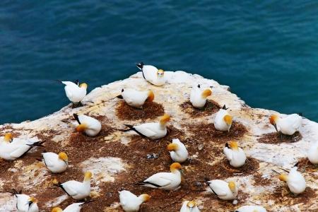 australasian: Gannet colony, Muriwai Beach, New Zealand
