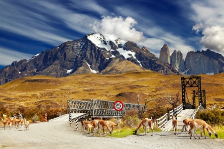 torres del paine: Wild guanacos in Torres del Paine National Park, Patagonia, Chile  Stock Photo