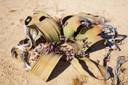 mirabilis: Amazing desert plant, living fossil Welwitschia Mirabilis in Namib Desert