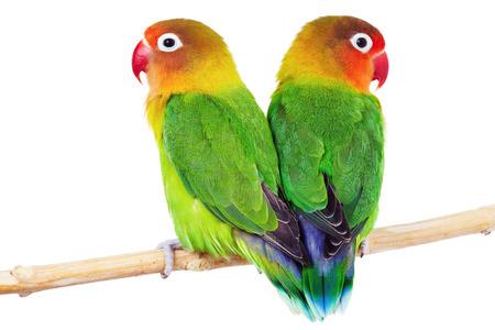 Paar lovebirds Agapornis fischeri-op wit wordt geïsoleerd