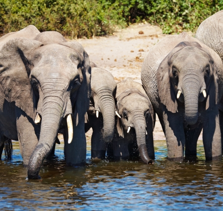 chobe national park: Herd of elephants at watering, Chobe national park, Botswana  Stock Photo
