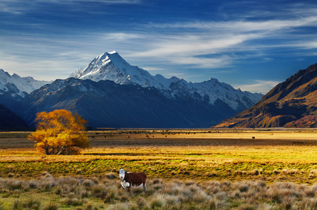 Farmland with grazing cows and Mount Cook on background, Canterbury, New Zealand