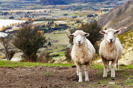 Grazing sheep, mount Roys, Wanaka, New Zealand photo