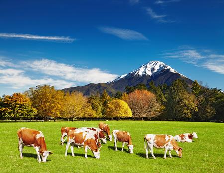 山の牛の放牧風景
