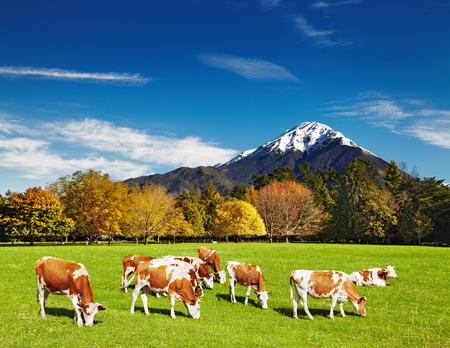 Mountain landscape with grazing cows photo