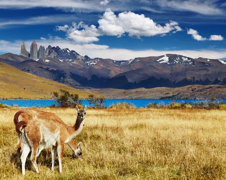 トレス デル パイネ国立公園、ラグーナ アズール、パタゴニア、チリのグアナコ