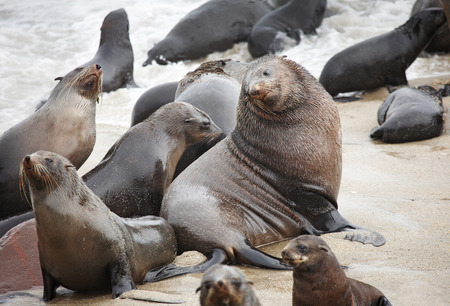 rote: Big seal male with his own females, Atlantic coast of Namibia