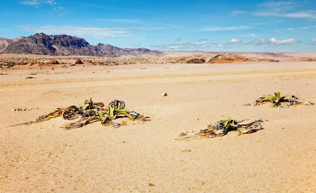 mirabilis: Pianta del deserto stupefacente, fossile vivente Welwitschia Mirabilis in Namib Desert.