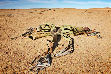 parch: Amazing desert plant, living fossil Welwitschia Mirabilis in Namib Desert. Stock Photo