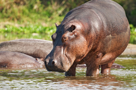 Wild hippo, Nile river, Uganda Banque d'images