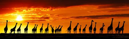 jirafa: Manada de jirafas en la sabana africana al atardecer