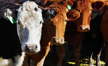 牧場の牛の群れ