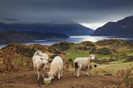 ovejas bebes: Ovejas que lame la sal, el Monte Roys, Wanaka, Nueva Zelanda Foto de archivo