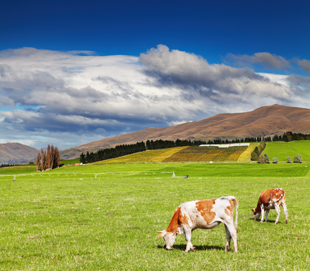 grazing cows: Mountain landscape with grazing cows