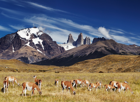 torres del paine: Herd of guanaco in Torres del Paine National Park, Patagonia, Chile
