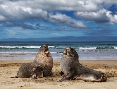 cannibal: Sea lions on the beach, Cannibal Bay, New Zealand