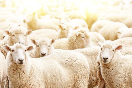 Livestock farm, flock of sheep Foto de archivo