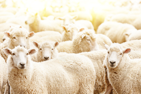 Livestock farm, flock of sheep Stock Photo