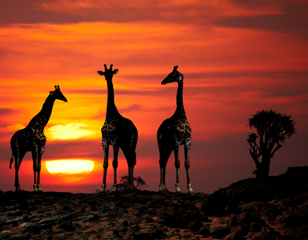 Giraffes in african savanna at sunset Фото со стока