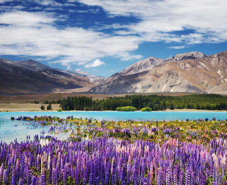Mountain landscape with flowering lupins, lake Tekapo, New Zealand