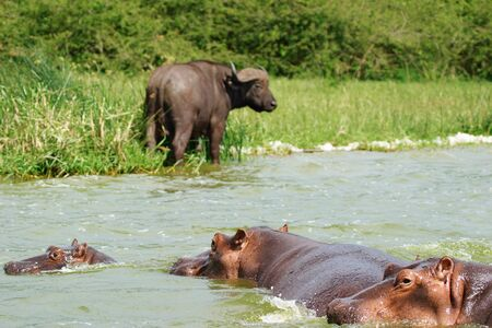 Buffalo and hippos, Kazinga Channel in Queen Elizabeth National Park, Uganda